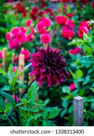 beautiful rich coloured dahlias growing in walled garden