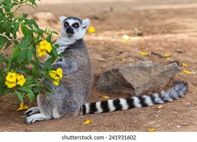 Beautiful ring-tailed lemur, lemur catta.