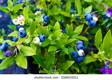 Beautiful ripe blueberry cluster on a bush grows in the garden on sunny day, close up, early breakfast, healthy food or diet concept