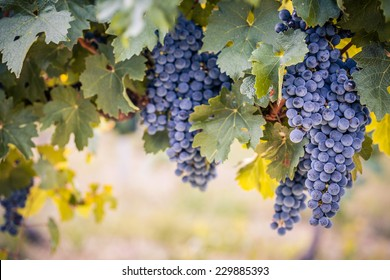 Beautiful ripe bunches of wine grapes on vine