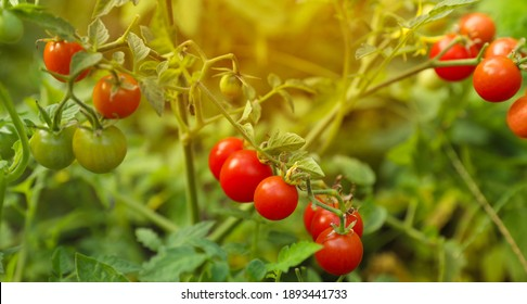 Beautiful ripe tomatoes on bush in garden