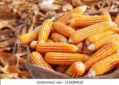 Beautiful Ripe yellow corn in sack on dry husk Rural farm natural organic concept