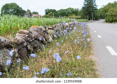 Beautiful roadside with blue chicory flowers at the swedish island Oland