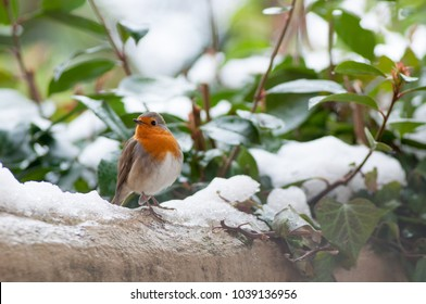 beautiful robin bird redbreast in winter landscape with snow