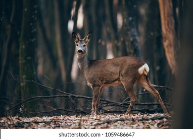 Beautiful roe in the wild forest. Camouflaged in the woods.