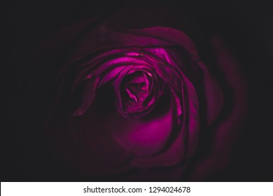 A beautiful romantic purple rose in dark illuminated by light in the shade on a black background, creates the effect of neon lighting, looks mysteriously
