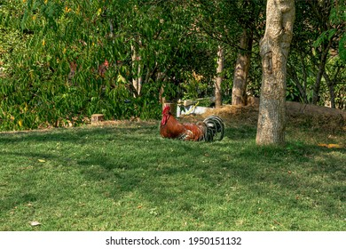 Beautiful rooster rests in the meadow under the trees at noon.
