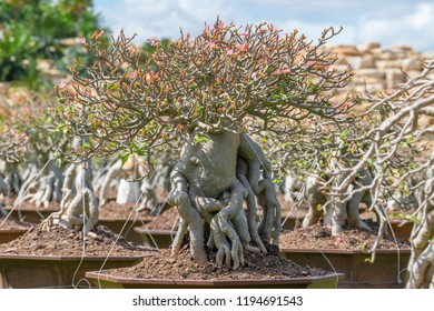 Beautiful roots of the adenium and beautiful adenium flower  for decoration.