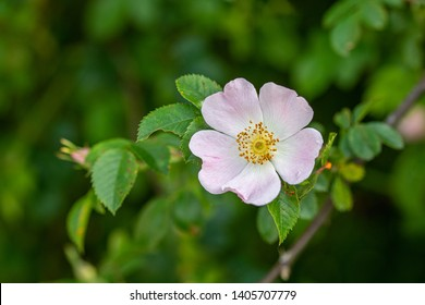 Beautiful Rosa canina ,Rose hip or rosehip, also called rose haw and rose hep, the accessory fruit of the rose plant