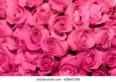 Beautiful rose background with droplets of water on petals.