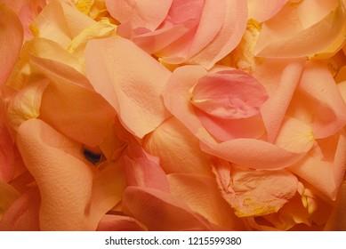 Beautiful rose backround