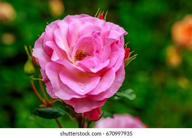 Beautiful rose blooms after rainfall, in Washington Park International Rose Test Garden, Portland, Oregon.