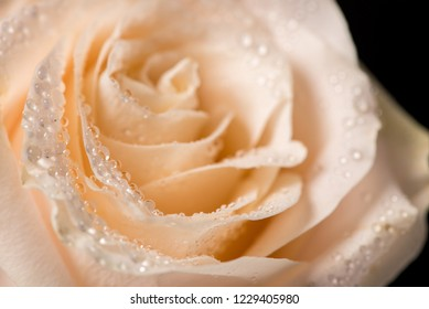 Beautiful rose bud with water drops on a black background