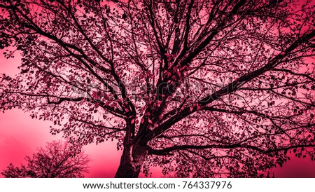 Beautiful rose color picture of a giant tree looking up. Photography art