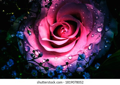 Beautiful rose with dew drops.