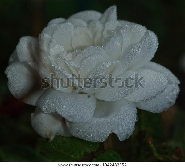 beautiful rose in drops of dew