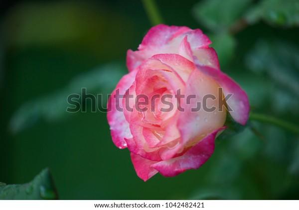 beautiful rose flower in drops of dew