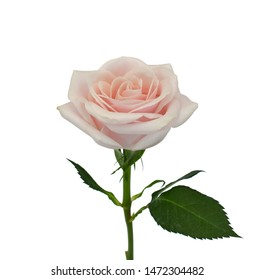 beautiful rose flower isolated on white background