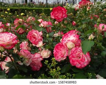 Beautiful rose flower rose photo