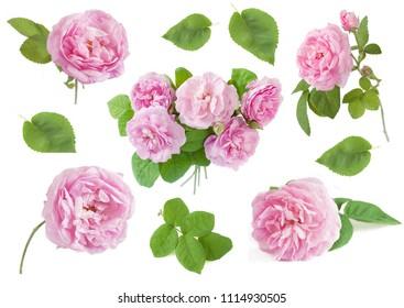 beautiful rose flower set on white