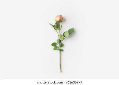 beautiful rose flower with stem isolated on white