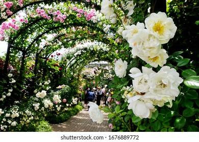 日本・神奈川の横浜英語庭園で満開の美しいバラの花が、背景にぼかしたフォーカスを選びました
