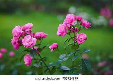 Beautiful rose flowers in the garden
