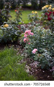 Beautiful rose flowers in the garden. Soft focus