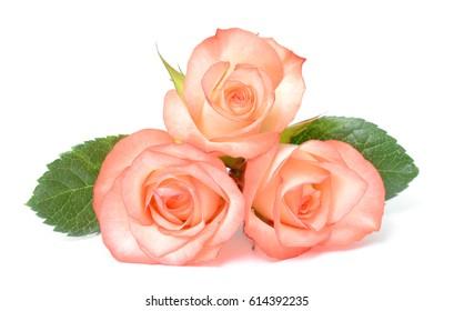 beautiful rose flowers isolated on white background
