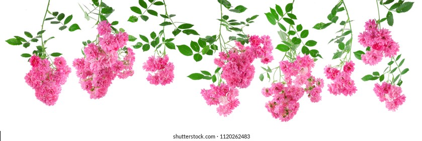 beautiful rose flowers of a pink rambler rose isolated on white, can be used as template, background