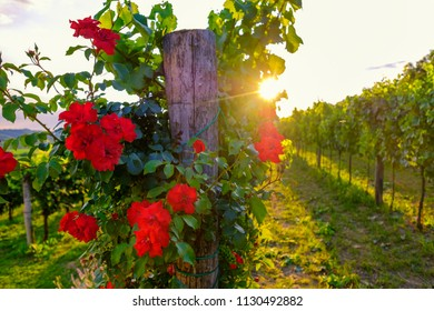 Beautiful rose flowers and vineyard in Vipava valley, Slovenia. Summer rural landscape