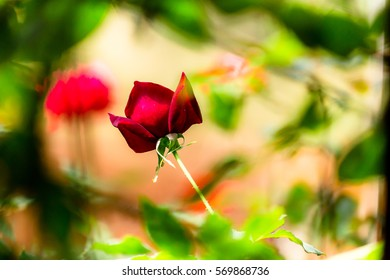 Beautiful rose in garden, fresh rose concept for happy Valentine Day.