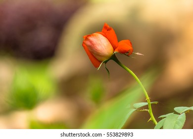 A beautiful rose in garden on natural light background.