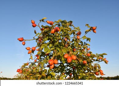 Beautiful rose hip shrub with ripe berries by blue skies