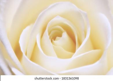 Beautiful rose macro shot photography