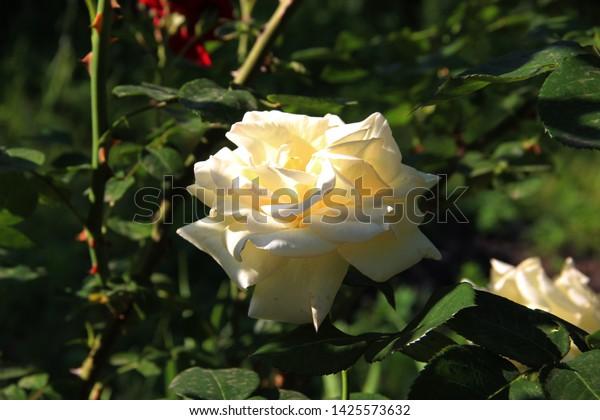 Beautiful Rose Morning Sun Dawn Garden Stock Photo Edit Now