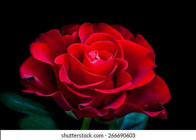 Beautiful rose. Mysterious  red  flower on  black background. Wallpaper for mobile devices, desktops, smartphones, image  for greeting cards