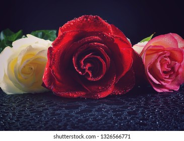 Beautiful rose on a black background