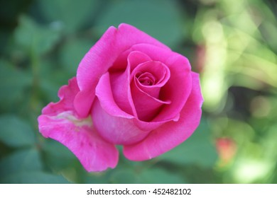 beautiful rose on the green background in the garden