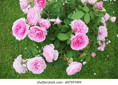 beautiful rose on green lawn background.