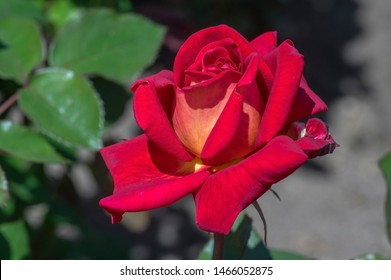 Beautiful rose on the natural background