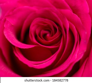 beautiful rose on nature