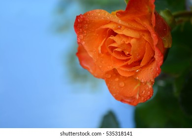 Beautiful rose on water background