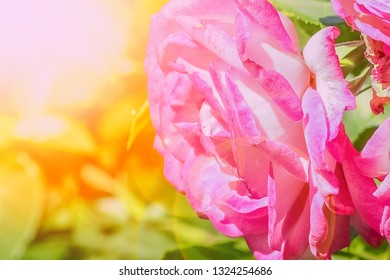 beautiful rose in a park on the nature background