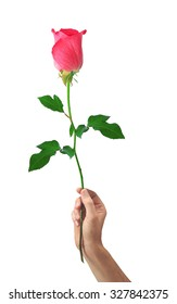 beautiful rose pink flower in hand men isolated on white background