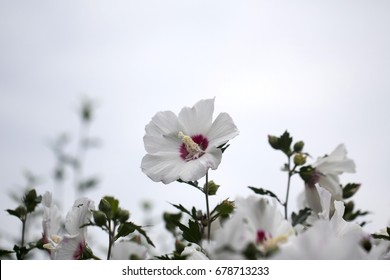 The beautiful rose of Sharon