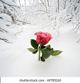 Beautiful rose in the snow