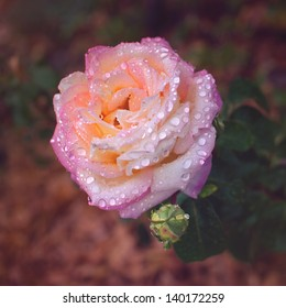 The beautiful rose with water drops