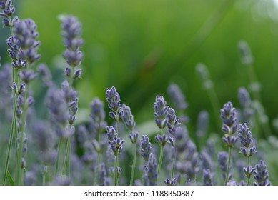 Beautiful Rosemary Flowers in the summer