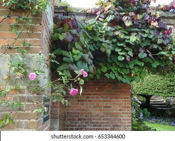 Beautiful roses against a brick wall on the grounds of Hever Castle in England. The United Kingdom.